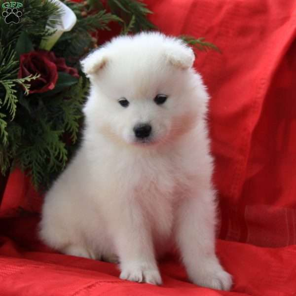 Joe, Samoyed Puppy