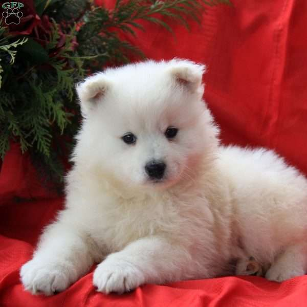 Josephine, Samoyed Puppy