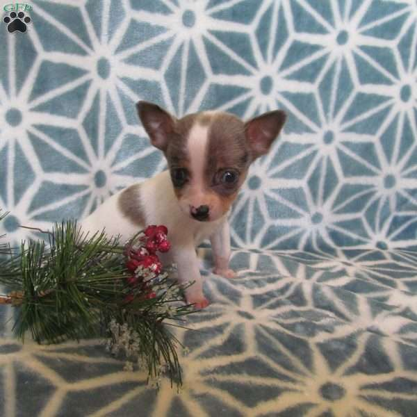 Teacup, Chihuahua Mix Puppy