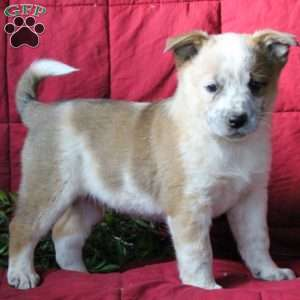 Australian Cattle Dog Puppies For Sale Montana