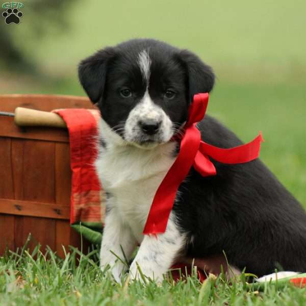 Muffin, Border Collie Mix Puppy