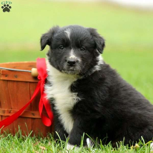 Murphy, Border Collie Mix Puppy