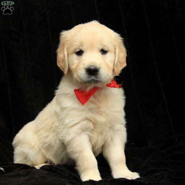 Nicolas, Golden Retriever-English Cream Puppy