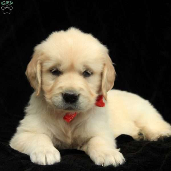 Prancer, Golden Retriever-English Cream Puppy