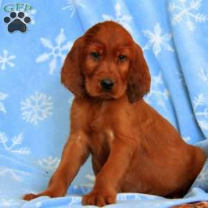 Rooster, Irish Setter Puppy