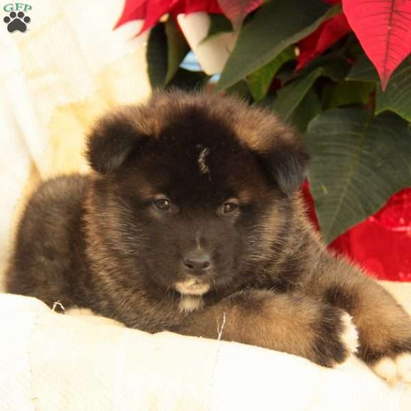 Rooster, Akita Puppy