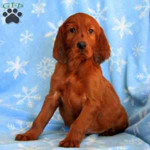 Roycie, Irish Setter Puppy