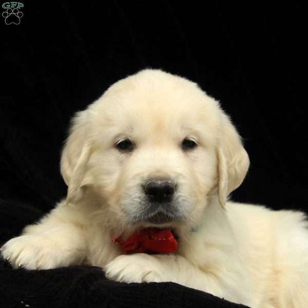 Rudolf, Golden Retriever-English Cream Puppy