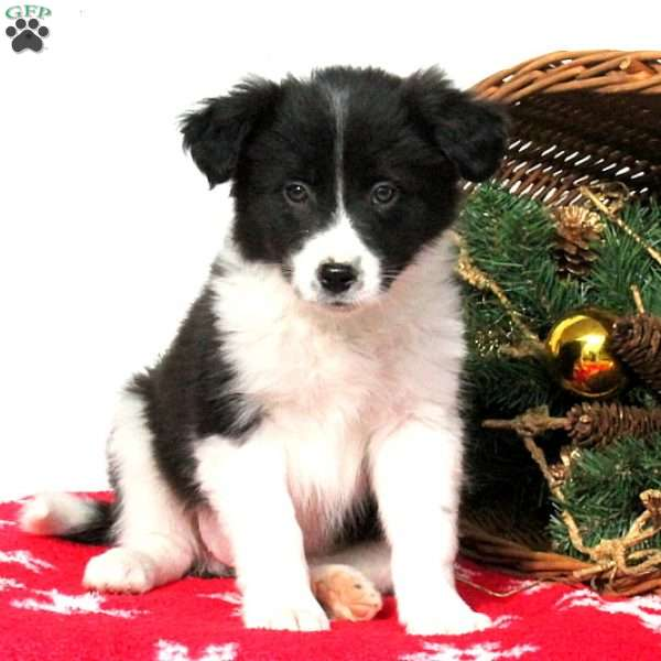 Shelby, Border Collie Puppy