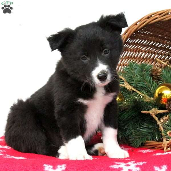 Shelly, Border Collie Puppy