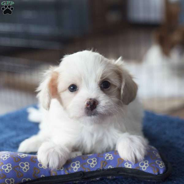 maltese puppy for sale in ohio snowflake maltese mix puppy for sale in ohio 4850