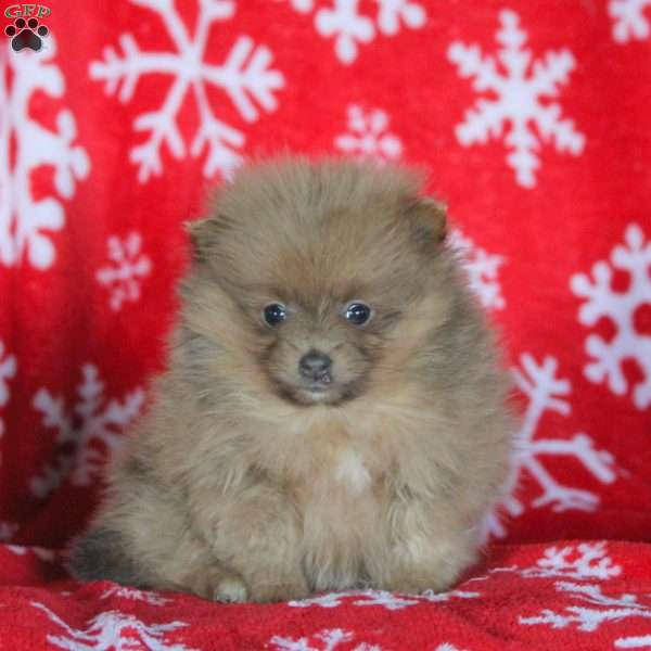 pomeranian breeders in pa twinkle pomeranian puppy for sale in pennsylvania 3130