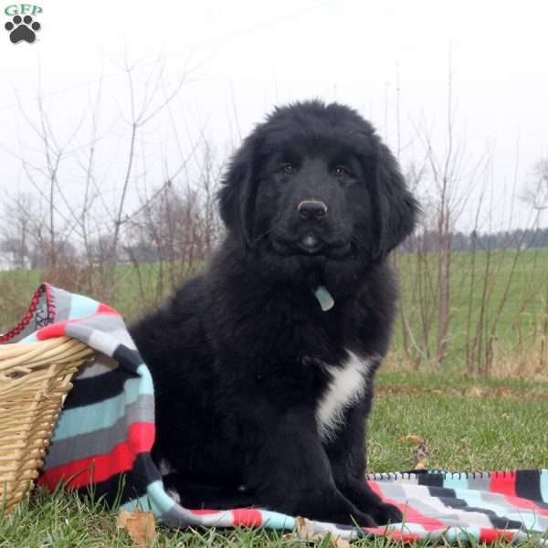 Wendy, Newfoundland Puppy