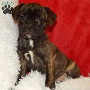 French Bulldog Mix Puppies For Sale In PA