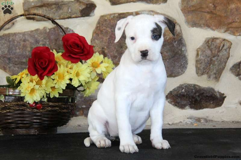 american bulldog puppies for sale in pa brianne american bulldog puppy for sale in pennsylvania 926