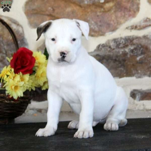 buff bulldog buff american bulldog puppy for sale in pennsylvania 5860