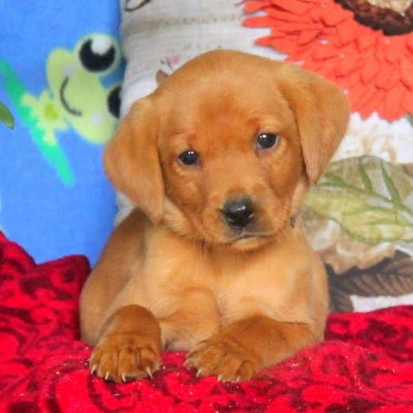 Labrador Retriever – Fox Red Puppy