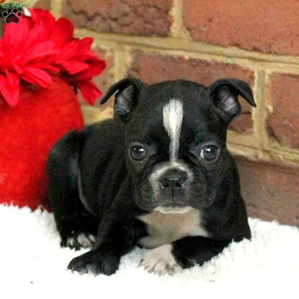 Harmony, Boston Terrier Puppy