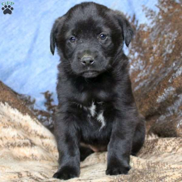 Ivy, Border Collie Mix Puppy