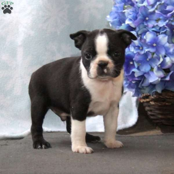 Kendall, Boston Terrier Puppy