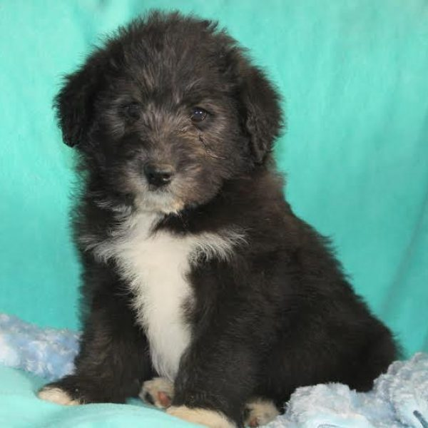 Norwegian Elkipoo Puppy