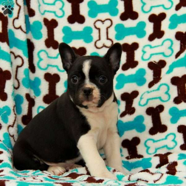 Pinkston, Boston Terrier Puppy