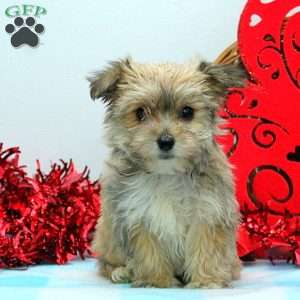yorkie chon for sale yorkie chon puppies for sale in de md ny nj philly dc and 2742