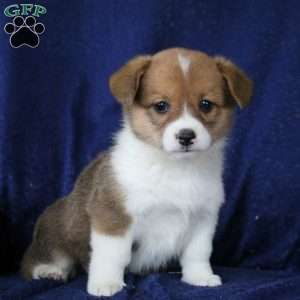 Pembroke Welsh Corgi Puppies for Sale in PA