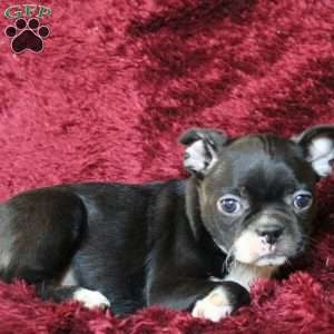 Victoria, Boston Terrier Puppy