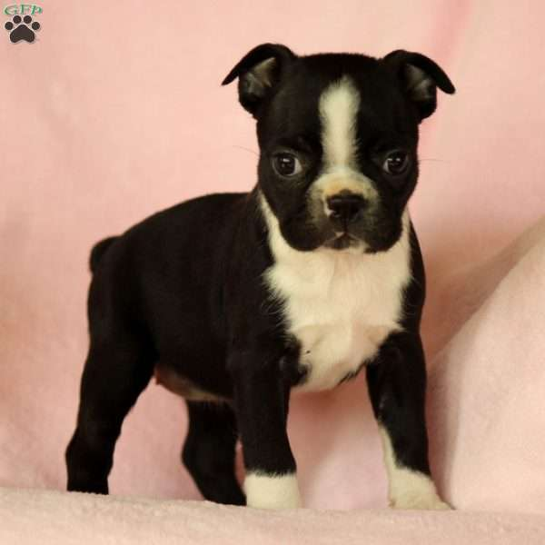 Abby, Boston Terrier Puppy