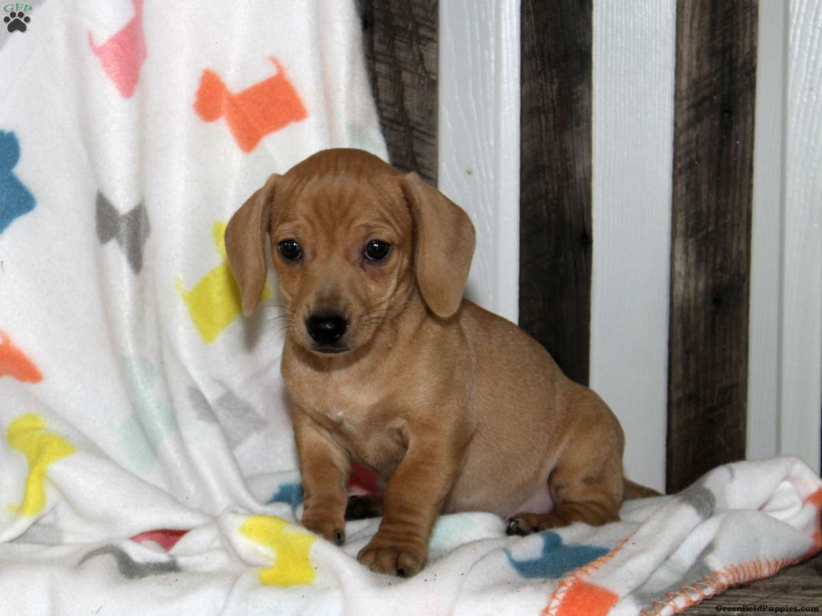 Andy Chiweenie Puppy For Sale In Pennsylvania