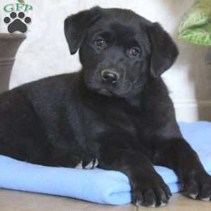 Lab puppies for sale in arthur illinois