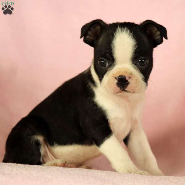 Astro, Boston Terrier Puppy