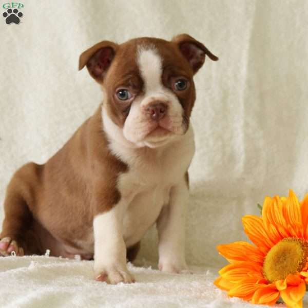 Buckles, Boston Terrier Puppy