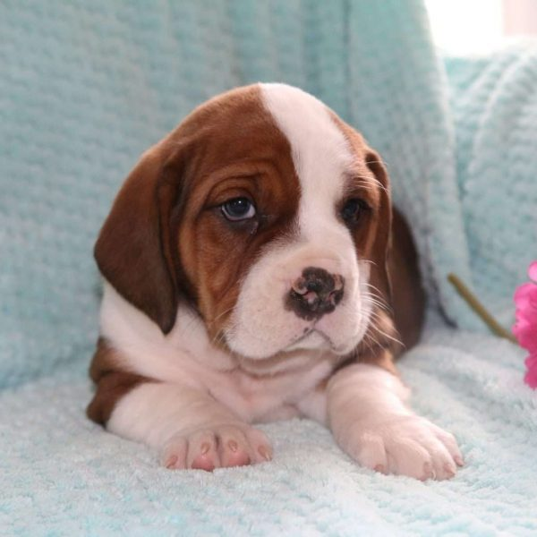 English Bully Basset