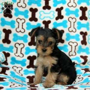 Morkie Poo Puppies For Sale In De Md Ny Nj Philly Dc And Baltimore