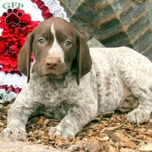 Bird In Hand Pa >> German Shorthaired Pointer Puppies For Sale In DE MD NY NJ ...