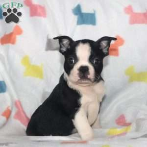 Rosie, Boston Terrier Puppy