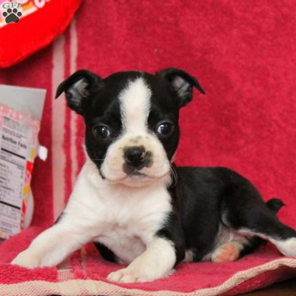 Taylor, Boston Terrier Puppy