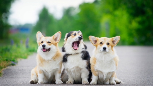 Signs You May be Obsessed with Corgis