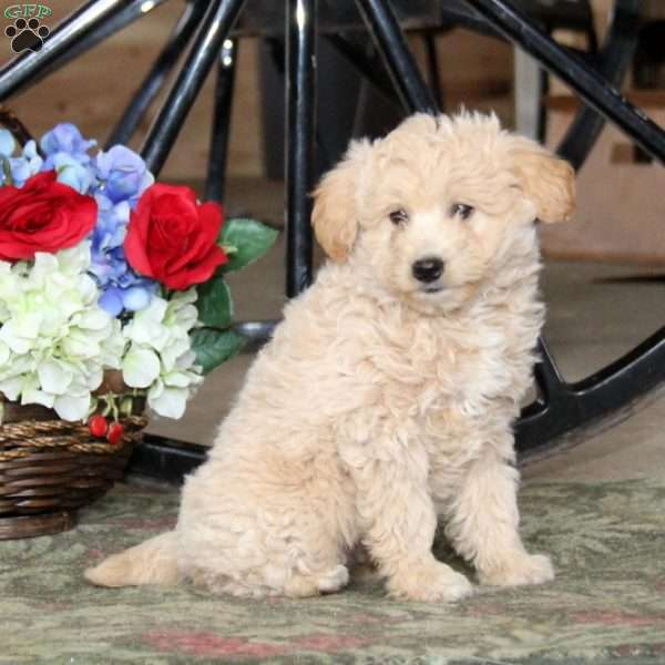 Barry Eskipoo Puppy For Sale In Pennsylvania