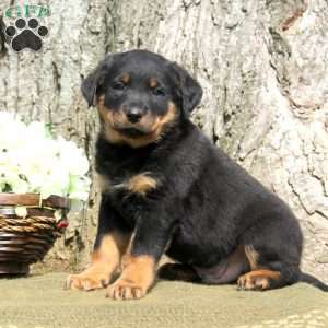 Characteristics of rottweiler