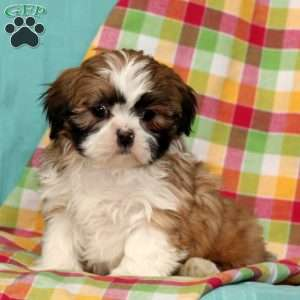 shih tzu puppies for sale in philadelphia shih tzu puppies for sale in de md ny nj philly dc and 3930