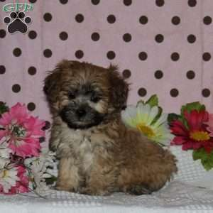Shichon Teddy Bear Puppies For Sale In De Md Ny Nj Philly Dc And Baltimore