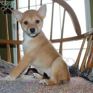 Shiba Inu Mix Puppies For Sale In De Md Ny Nj Philly Dc And Baltimore