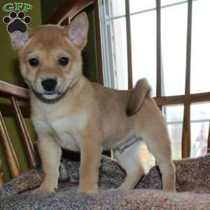 Shiba Inu Mix Puppies For Sale In De Md Ny Nj Philly Dc