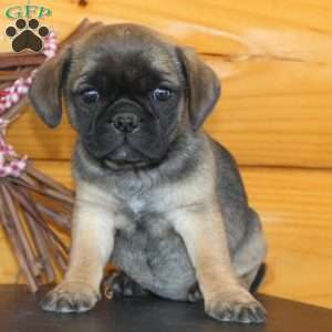 pug puppies for sale in nj pug mix puppies for sale in de md ny nj philly dc and 3746