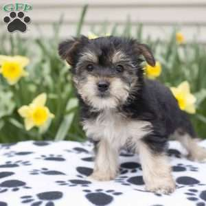yorkie chon for sale yorkie chon puppies for sale greenfield puppies 663