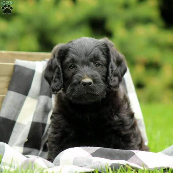 Ashes, Labradoodle-Miniature Puppy