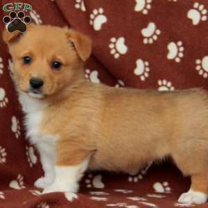 Champ, Pembroke Welsh Corgi Puppy